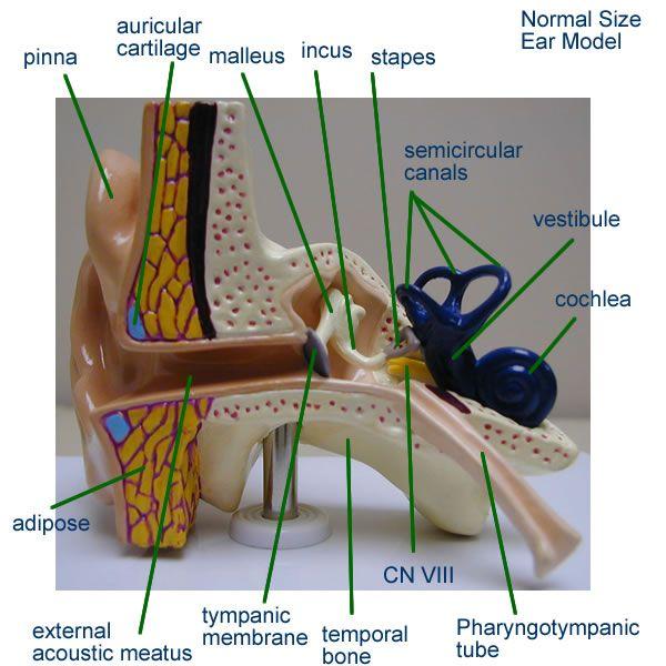 Ear model anatomy