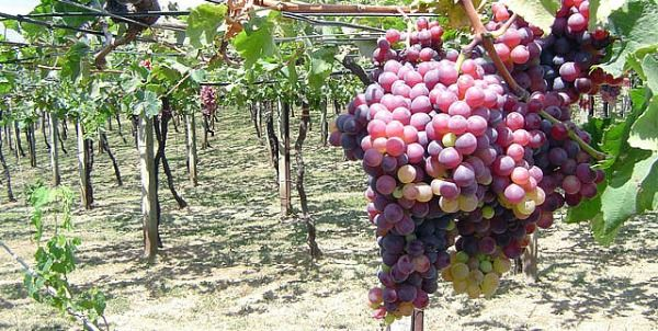 Semillas de uva, un poderoso anti-inflamatorio para corredores | Nutrición para Corredores