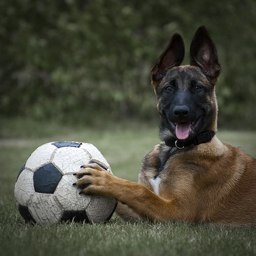 Belgian Malinois - they have the best smiles!