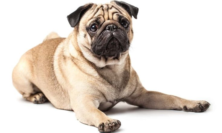 Experts say that in breeds such as pugs, generations of selective breeding have prioritised appearance over health. Photograph: Pavel Hlystov/Getty Images/iStockphoto