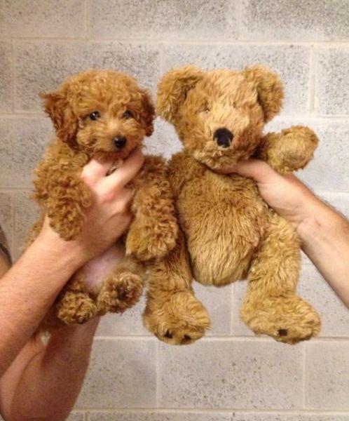 Goldendoodle puppy vs teddy bear. Golden doodle wins