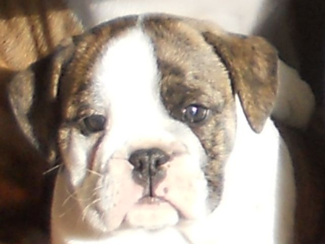 Litter Of 5 Beabull Puppies For Sale In Holmesville Oh Adn 64218 On Puppyfinder Com Gender Male Age 12 Weeks Old Puppies For Sale Puppies Litter