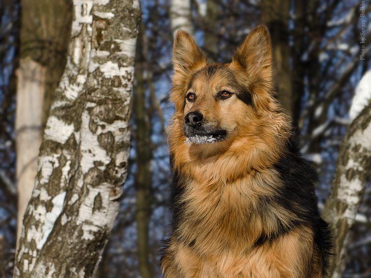 Фотография автора Sergey-: Дворняга. А какова стать!!(359405) из альбома Домашние животные