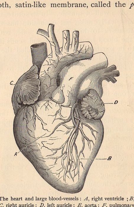 Anatomical Heart | Drawing | Pinterest | Anatomical heart ...
