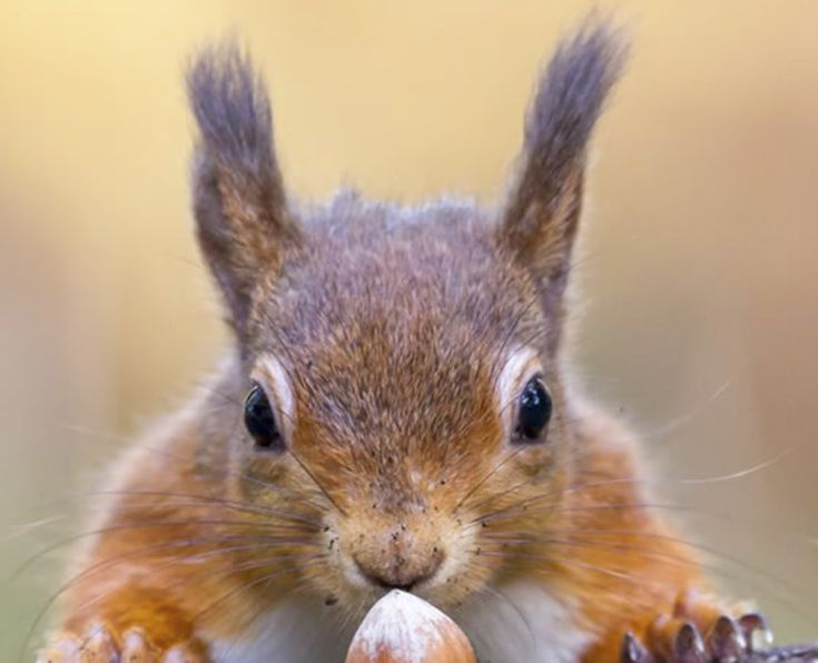 Red squirrel facts: why are red squirrels endangered? - Woodland Trust