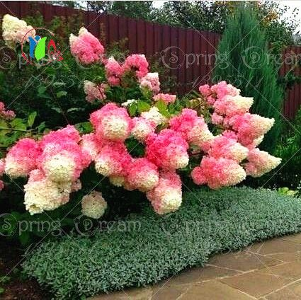 50pcs/bag Vanilla Strawberry Hydrangea Flower Seeds for Planting Flower