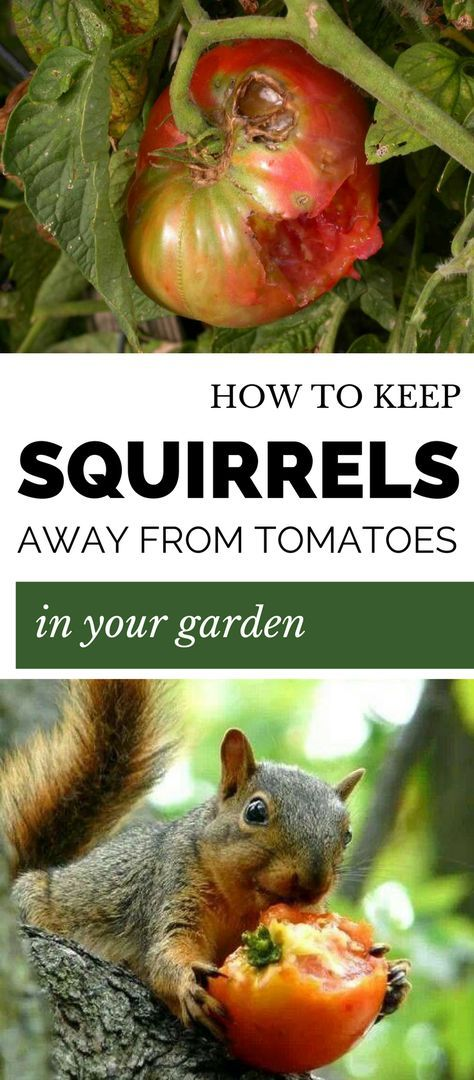 Learn how to keep squirrels away from tomatoes in the - How to keep squirrels away from garden ...