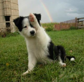 Border Collie Puppy- of COURSE it's at the end of the rainbow!