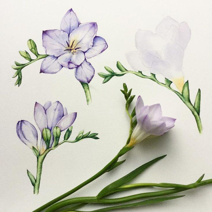 Freesia in progress #botanical #illustration #watercolor #акварель #freesia #flowers