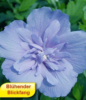Gefüllter Hibiskus 'Chiffon®' blau