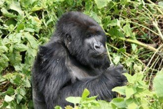 #Wildlife #Animals #Photography highly #Endangered #Species #primates #gorillas