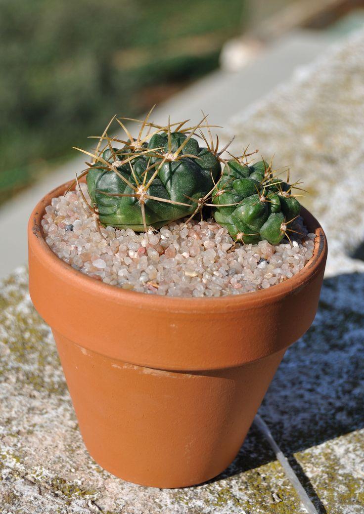 Gymnocalycium monvillei (Lem.) Pfeiff. ex Britton & Rose