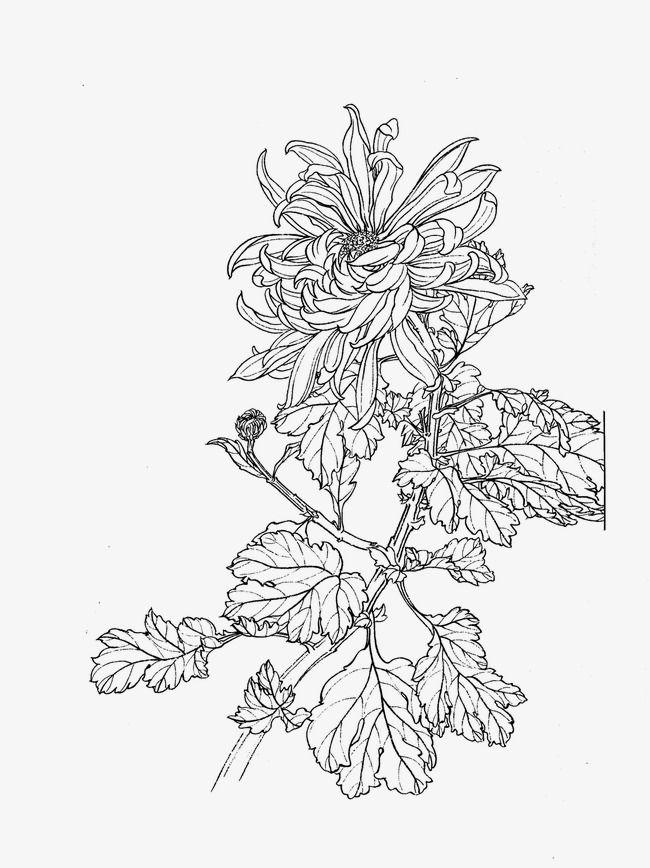 Chrysanthemum Flower Line Drawings Flower Drawing Flower Artwork