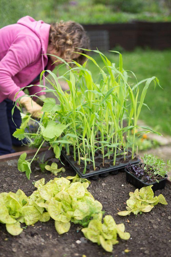 Milpa Beet Mischkultur Aus Bohnen Mais Und Kurbis Pflanzanleitung Pflanzen Mischkultur Und Zucchini Pflanzen