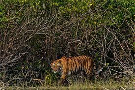 WWF señala que el aumento del nivel del mar amenaza el hábitat de manglares de la población de tigres de la India y Bangladesh, provocando que el espacio donde residen habitualmente estos animales se vea drásticamente reducido.  Fuente: http://www.ecoticias.com/naturaleza/99851/tigre-el-gran-felino-que-podria-extinguirse