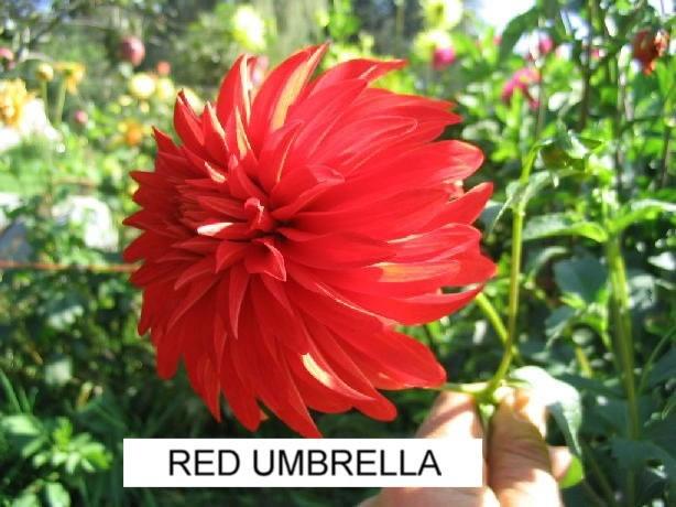 Accent Dahlias Gallery / Red Umbrella_1.jpg: 2012 Dahlias, Red Umbrellas 1 Jpg, Accent Dahlias, Daisies, Dahlias Galleries