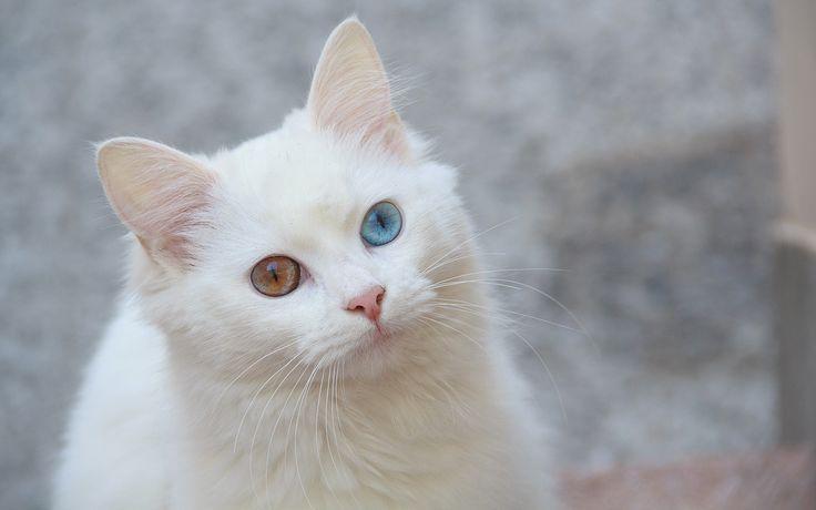 Il gatto d'Angora è un gatto proveniente dalla Turchia. Il pelo lungo bianco e l' eleganza contraddistinguono questo splendido felino. Conosciamolo assieme!