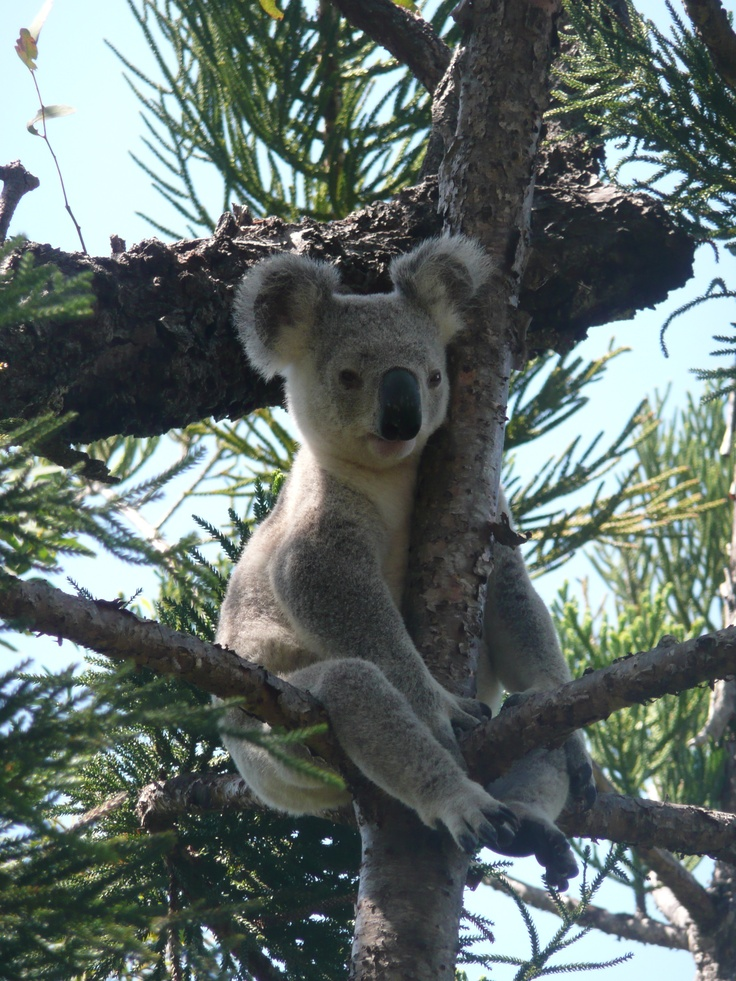 Magnetic Island, Australia.  One of my favorite places I've visited.  Home to the most wild koala's in the world.