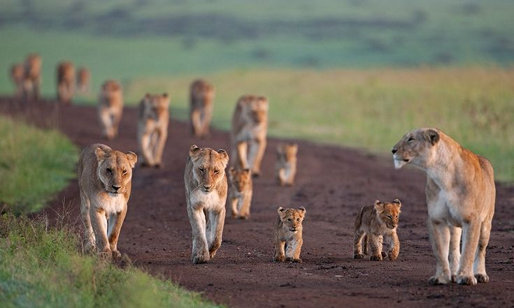 Lionesses walking along a track with their cubs, Maasai Mara National Reserve, Kenya © naturepl.com / Anup Shah / WWF #BigCatFamily