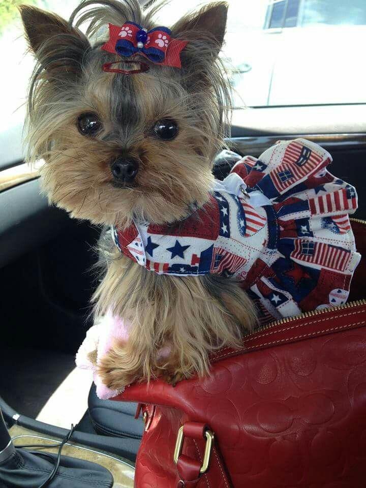 Sophie Dovelet owned by Penny Rubenstein #teacupdogslist #teacupdogs…