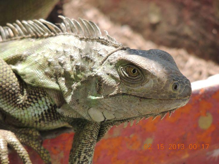 Iguana...