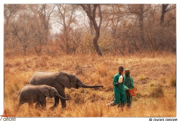 Special Elephant formula in demand. Elephant orphans in Kafue National Park.  GRI run an successful Elephant Orphanage which I volunteered at in 2011.  Brilliant experience!  Photo by #avaniamore