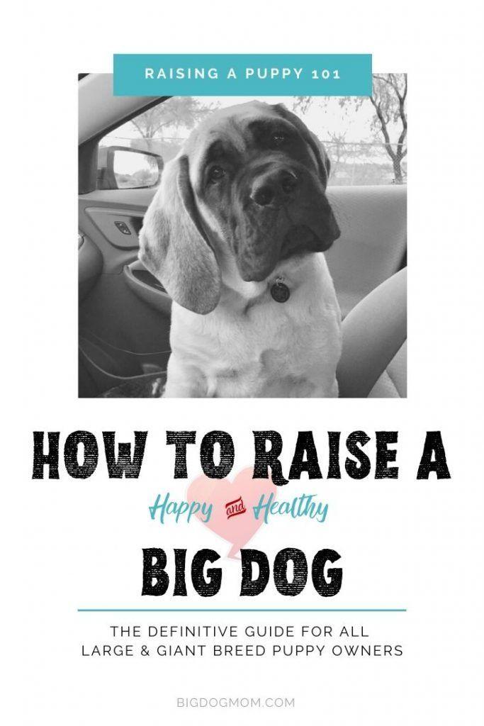 Mastiff Puppy 101 Wild Puppy To Gentle Giant Guaranteed Best