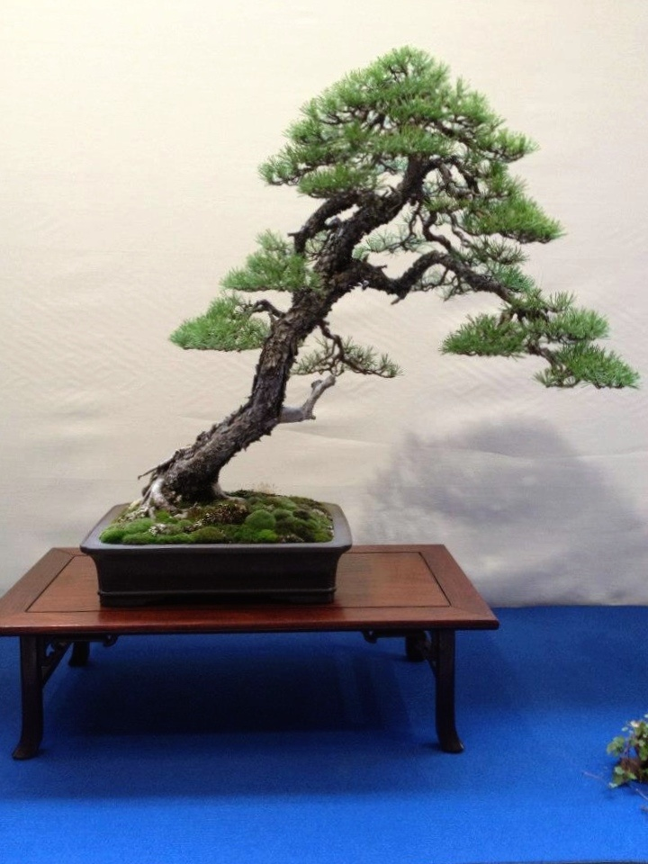 1000 images about bonsai auf pinterest kiefer b ume und bonsai. Black Bedroom Furniture Sets. Home Design Ideas