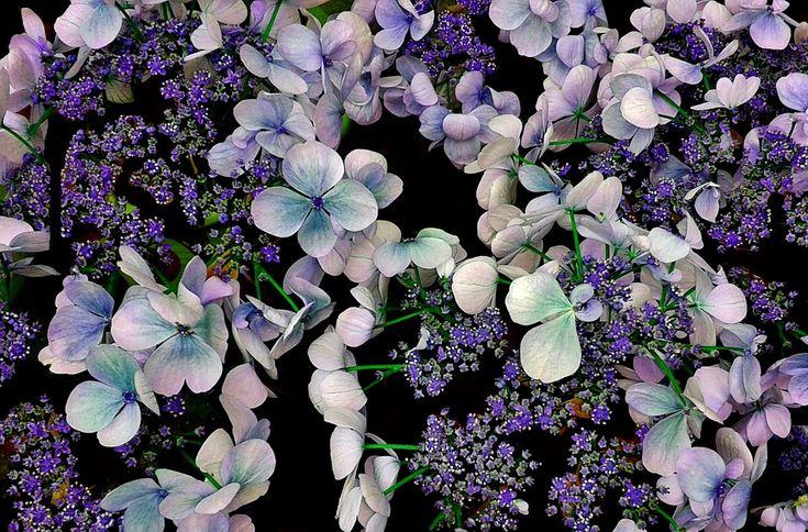 Hortênsia, Flores, Flor, Jardim, Roxo, Inflorescência