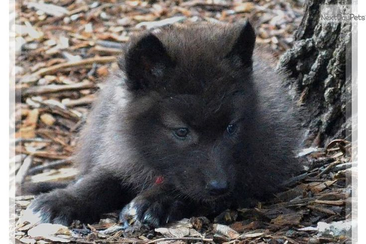 Wolf Hybrid Puppies For Sale References