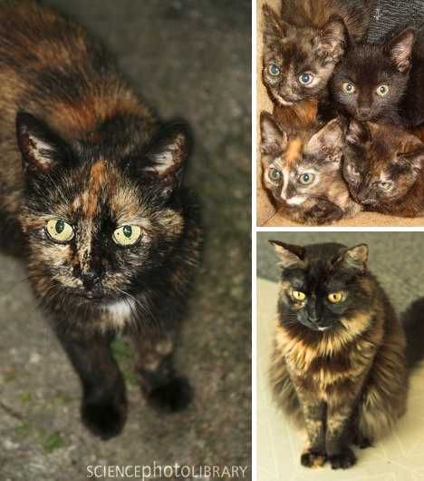 Twisted Sisters: Amazing Tortoiseshell Cats & Kittens - WebEcoist