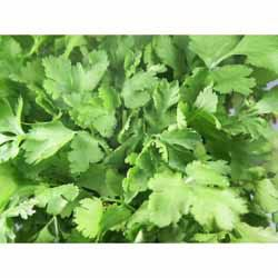 Coriander Leaves/Fresh - Bunch