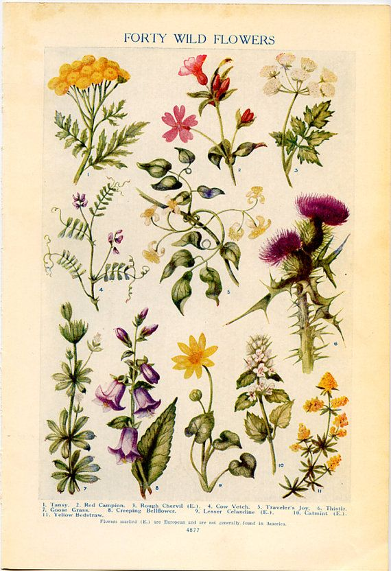 Vintage Lithographic Prints of Wild Flowers from 1926 Encyclopedia