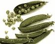 Cultivo de guisante:   Plagas, enfermedades y fisiopatías en cultivo de guisantes