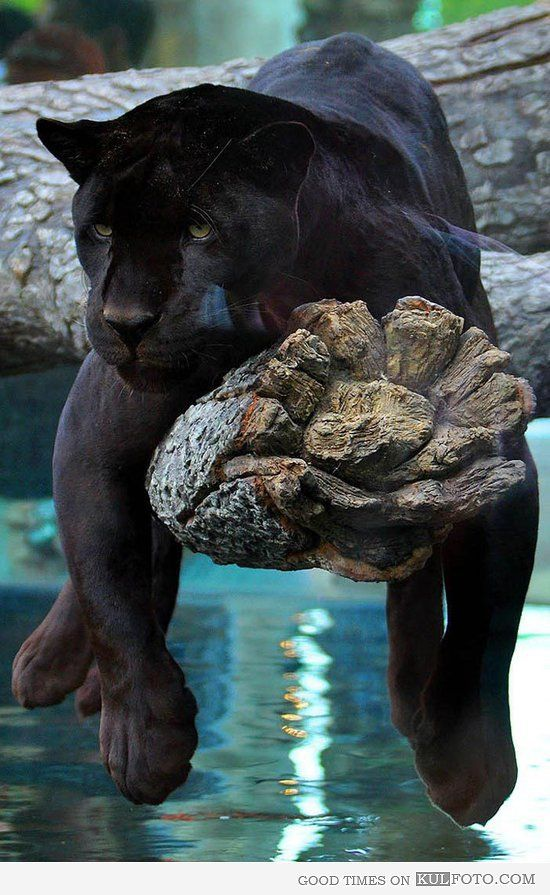 panthers lying on a tree - Google Search | Animals ...