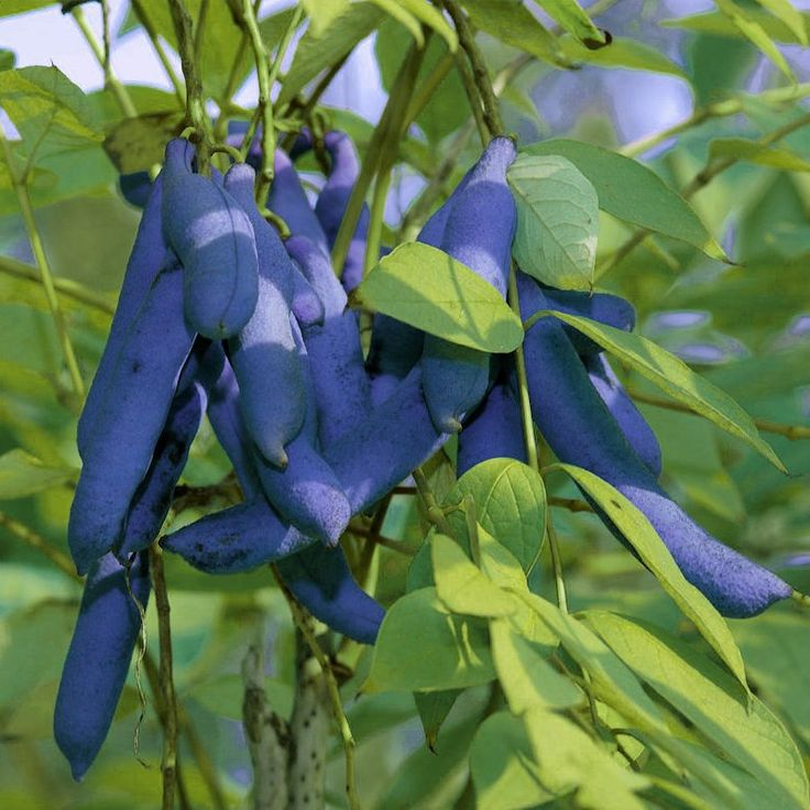 Unusual Dead Man Blue Fingers Fruit, Decaisnea fargesii, also called Blue Sausage  Fruit.