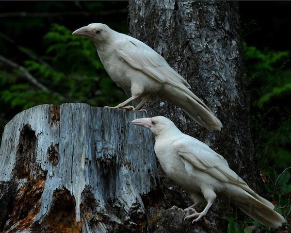 white carrion crow