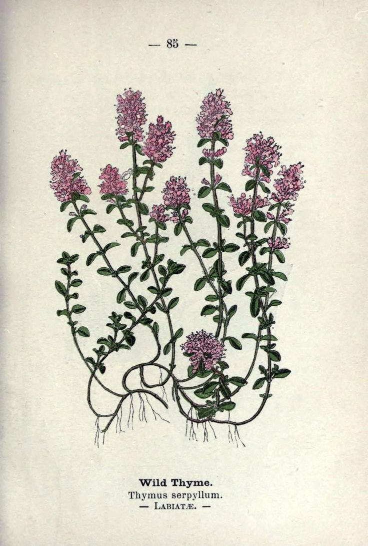 Thymus serpyllum - Wild Thyme/Creeping Thyme Wayside and Woodland Blossoms, a Pocket Guide to British Wild-Flowers for the Country Rambler. Edward Step, 1895.