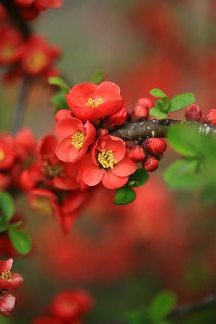 flowering quince—first to bloom in spring! (repinned by www.vinlandvalleynursery.com)