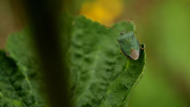 The Green Shield Bug is a common sight in England and Wales. They hibernate in grass tussocks and wake in May. They fatten for a month on shrubs, herbs and leaves. They are sensitive to changes in the environment and it is thought that they have been spreading northwards as a result of climate change.