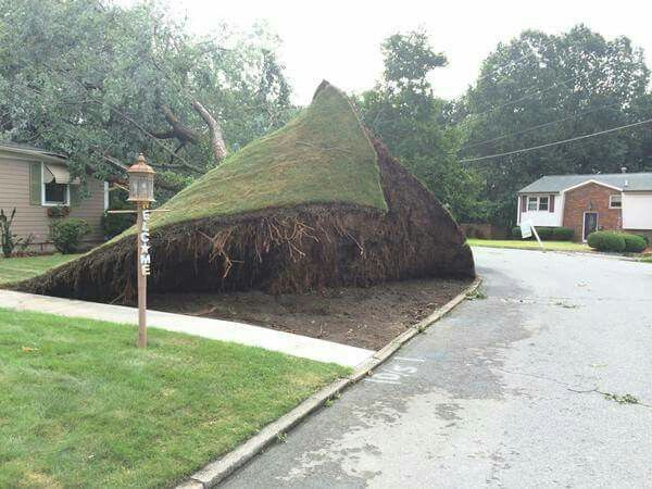 In Rhode Island August 2015 Yes WIND gusts had ensnared the tree that was covered with a heavy full foliage. The tree tumbled down peeling off the complete lawn due to sudden water saturation and an extremely dryed shallow roots system.