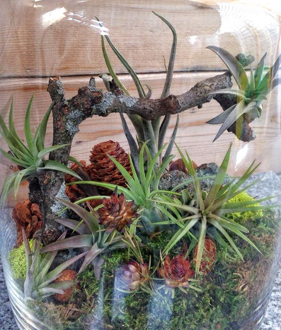 This terrarium is the perfect size for that little space that needs a bit of lush greenery. Since it contains preserved moss, it requires less maintenance than traditional terrariums yet inside you will not find any plastic or artificial items. Everything is straight from nature giving you an easy care terrarium that not only looks real, but is real!  You will receive the following: Glass jar measuring roughly 10 tall, 7 wide and 4 at the opening Charcoal Preserved moss Orchid bark Lichen…