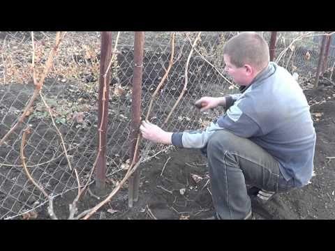 Виноград Обрезка куста - YouTube