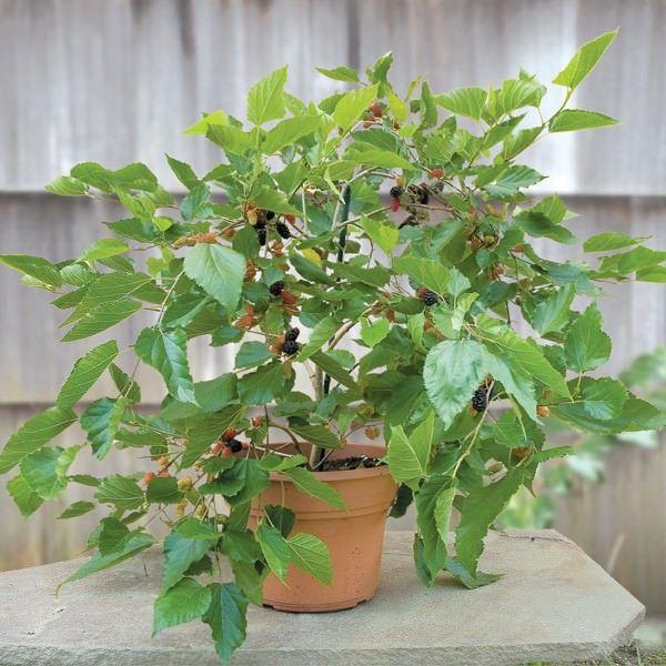 dwarf mulberry tree in a pot