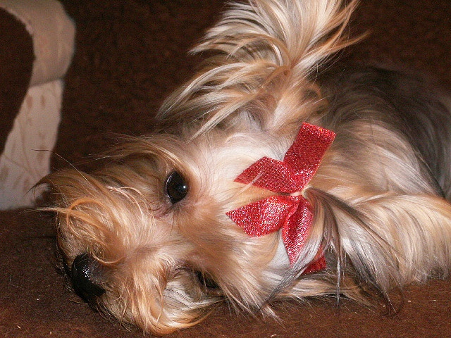 too much mom, i'm tired now, laters ok by dagutzyone's , via Flickr Yorkie