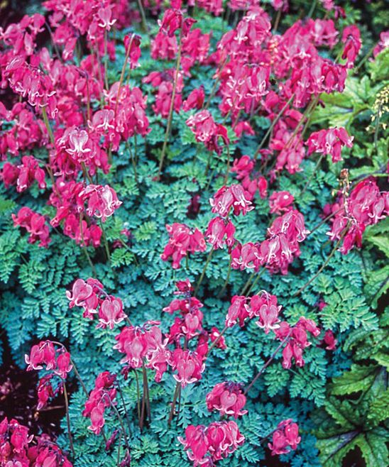 King of Hearts Dicentra Plant   zulily