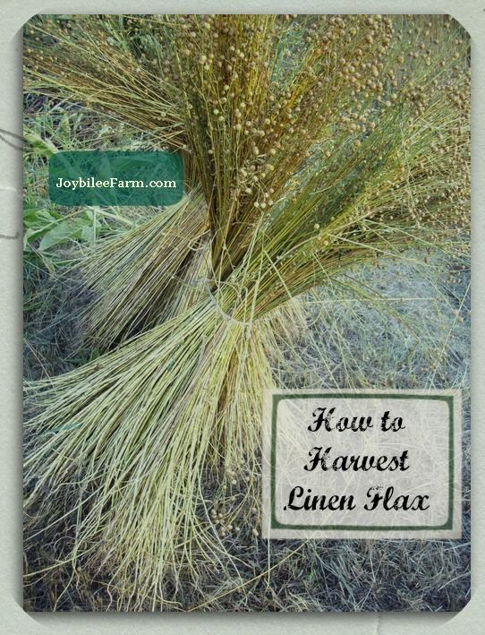 How to Harvest Linen flax for spinning and weaving