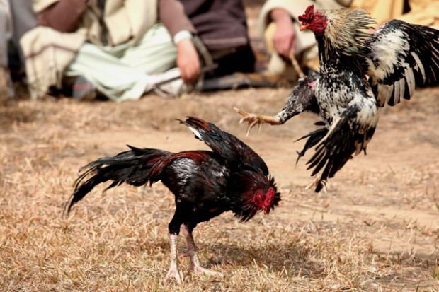"Mano a Mano: Pakistanis watch a cockfight in Kotli Sattian, 50 kilometers north of Islamabad, on Jan. 13. Though illegal, the blood sport is still popular in rural parts of the country during the winter. Animal rights activists vehemently oppose the practice. Bred for stamina and strength, the roosters often live horrible lives, reports PETA: ""Many of these birds spend most of their lives tethered by one leg near inadequate shelter, such as a plastic barrel or a small wire cage."" (Photo: ..."
