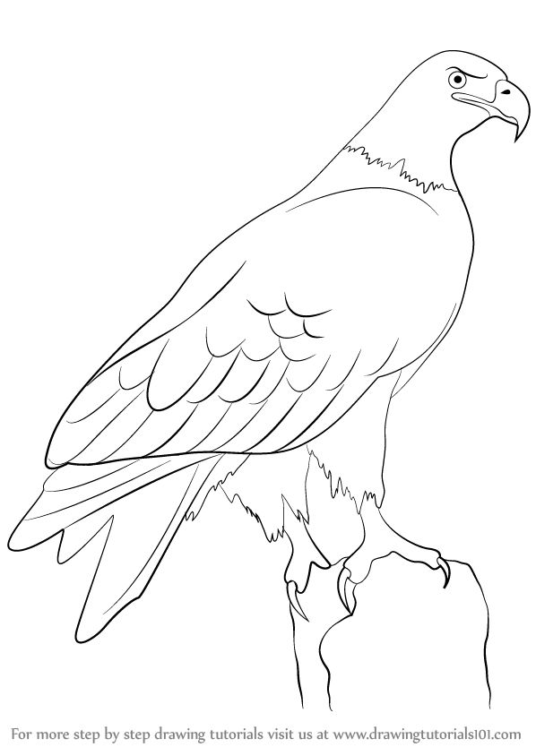 Learn How to Draw a Eagle (Birds) Step by Step : Drawing Tutorials