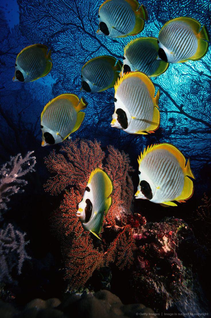 Panda Butterflyfish,cute fish,small fish,colorful fish,
